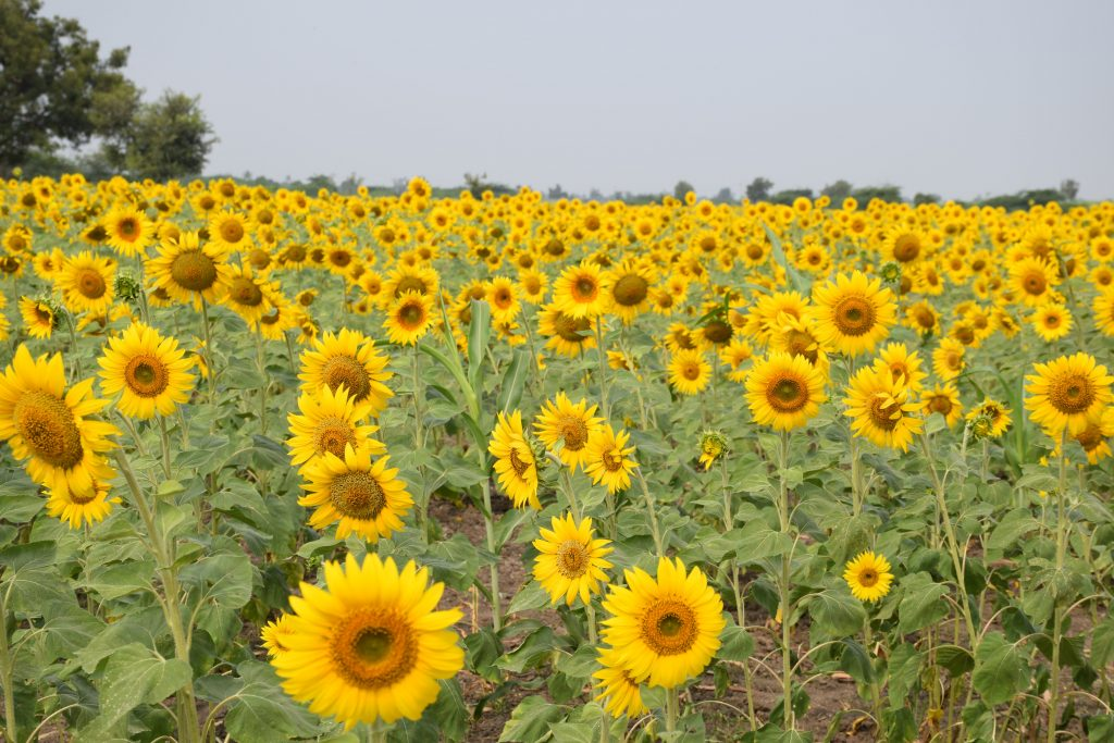 sunflower fields near Badami, Karnataka